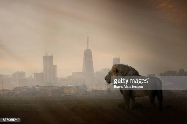 a lion with modern city skyline in the background - nairobi stock pictures, royalty-free photos & images