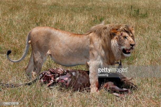 Lion with wildebeest kill in savanna. Masai Mara National Park. Kenya.