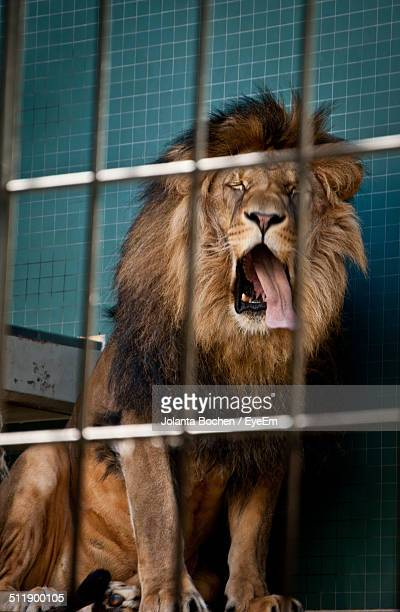 Lion yawning in a cage