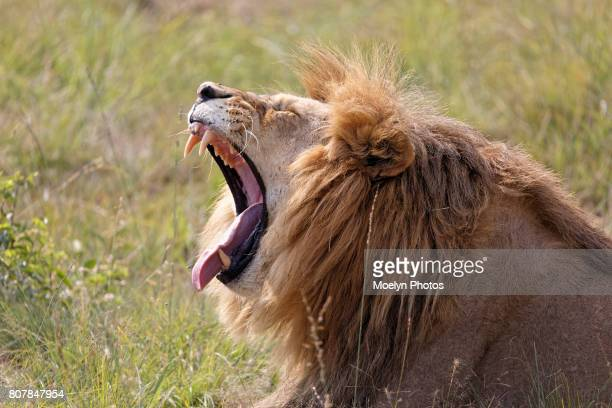 Lion Yawning-Fly on its Nose