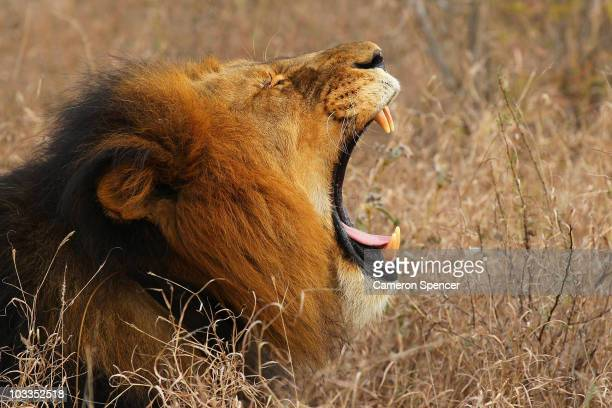 A lion yawns on July 19 2010 in the Edeni Game Reserve South Africa Edeni is a 21000 acre wilderness area with an abundance of game and birdlife...