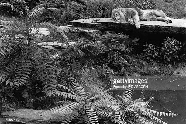 Lion zoo in Cologne Germany A lion sleeping on a flat rock in a jungle atmosphere amid greenery and ferns Photo belonging to a series called 'Magic...
