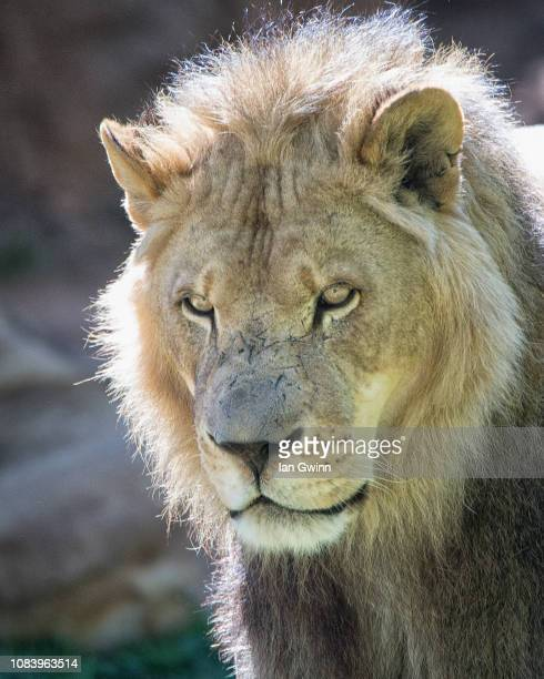 lion_1 - ian gwinn stock photos and pictures