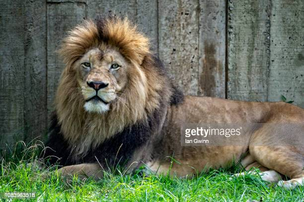 lion_2 - ian gwinn stock photos and pictures