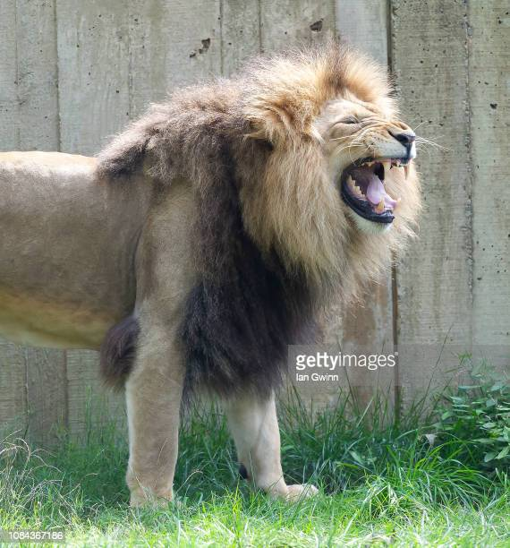lion_3 - ian gwinn stock photos and pictures