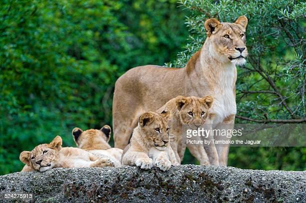 a lioness and 4 cubs - lion cub stock-fotos und bilder