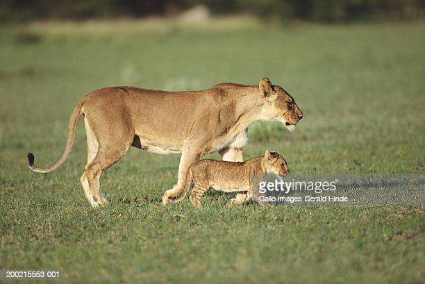 lioness and cub (panthera leo) in field, side view - lioness stock pictures, royalty-free photos & images
