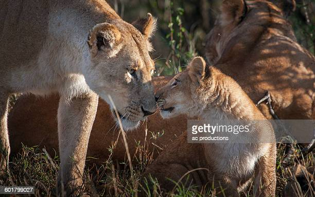 Lioness and cub nuzzling in grass