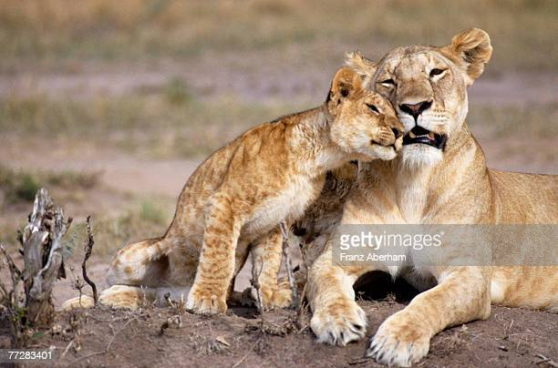 Lioness and cub nuzzling