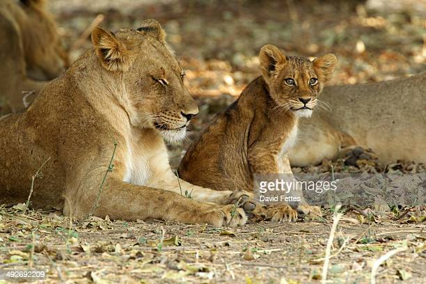 Lioness and cub - Panthera leo