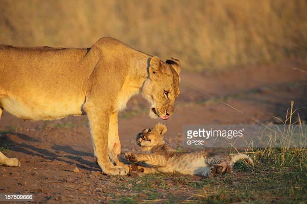 Lionne et de la cub