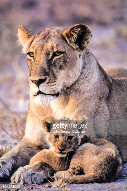 lioness and cub - lion cub stock photos and pictures