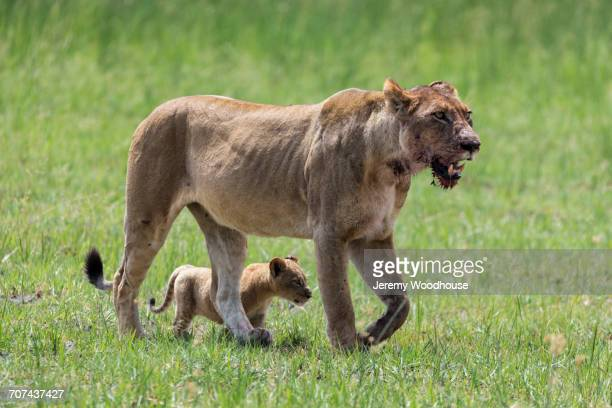 Lioness and cub walking in field after eating