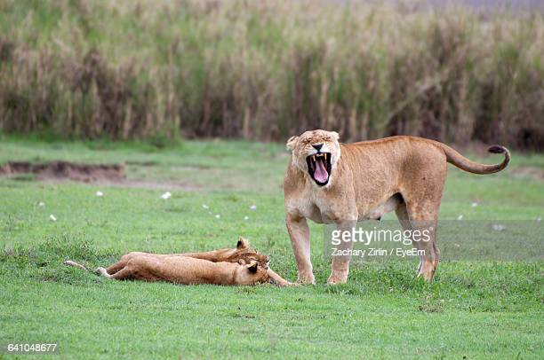 Lioness And Cubs On Grassy Field