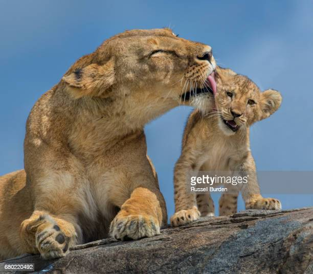 lioness and cubs - lion cub stock photos and pictures
