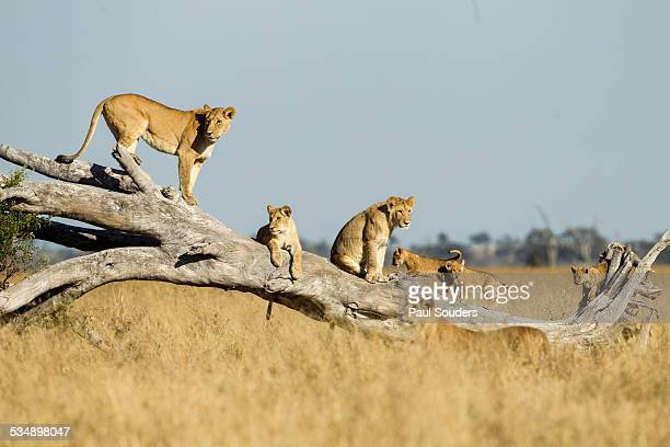 lioness and cubs standing on dead tree, botswana - lion stock pictures, royalty-free photos & images