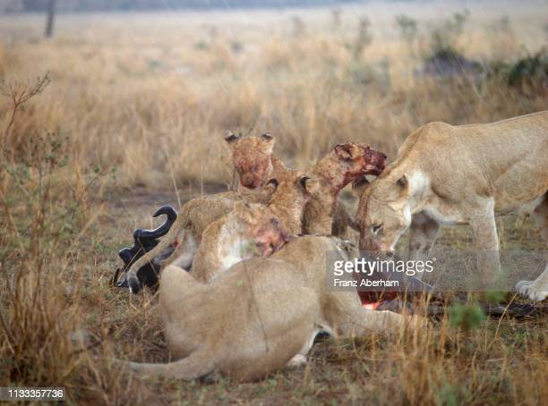 lioness and cubs with a wildbeest kill in rain, masai mara, kenya - franz aberham stock photos and pictures