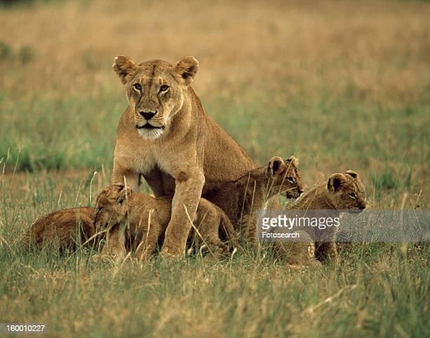 lioness and her cubs - lion cub stock-fotos und bilder