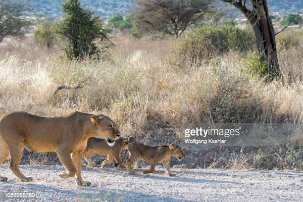 A lioness and her cubs walking on a road in the Samburu National Reserve in Kenya
