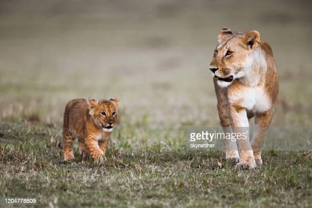 ライオンと彼女のかわいいカブは自然の中を歩いています。 - 動物の親子 ストックフォトと画像