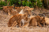 its beautiful photo lioness together with