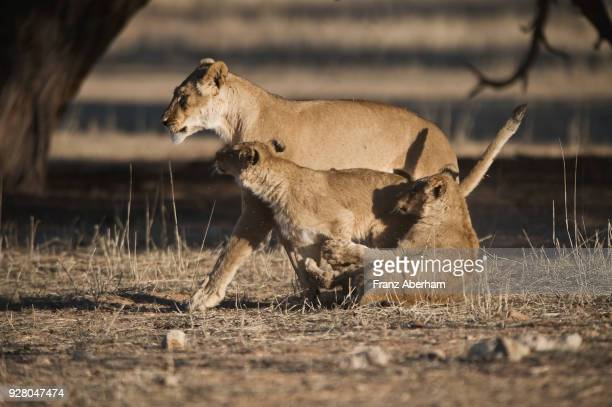 Lioness and playful cubs, Kgalagadi Transfrontier Park, South Africa