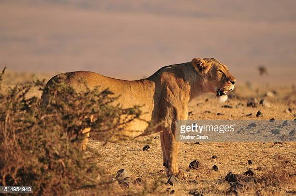 Lioness at Ngorogoro Crater