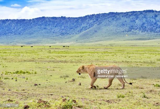 lioness at ngorongoro crater - ngorongoro conservation area stock pictures, royalty-free photos & images