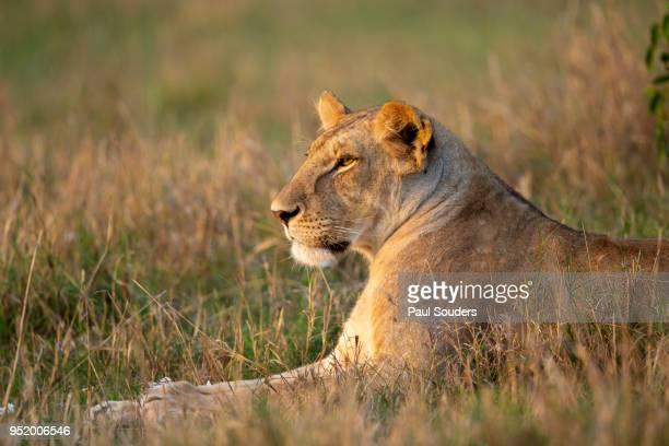 Lioness at Sunset, Masai Mara Game Reserve, Kenya