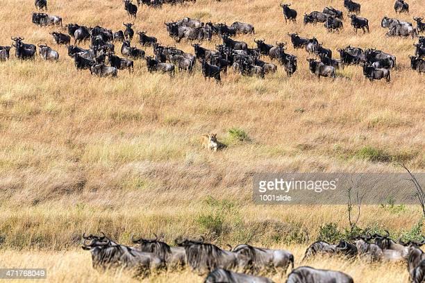 Lionne sur wild-chasse et observer