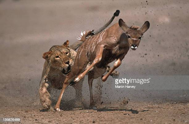lioness attacking and killing kudu. etosha national park. namibia. - carnivora stock pictures, royalty-free photos & images