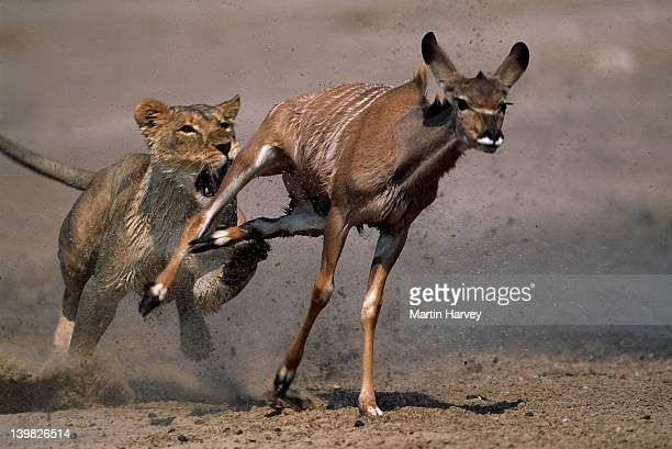 lioness attacking and killing kudu. etosha national park. namibia. - lion attack stock pictures, royalty-free photos & images