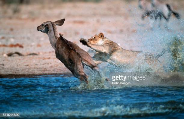 Lioness Attacking Kudu