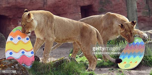 Lioness Binta plays with an Easter egg in her enclosure at the zoo in Hanover central Germany on April 3 2014 The egg was filled with roots and...