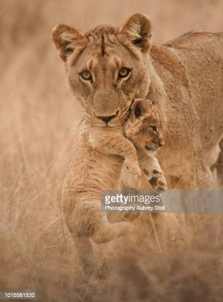 lioness carrying a cub - kruger national park stock pictures, royalty-free photos & images