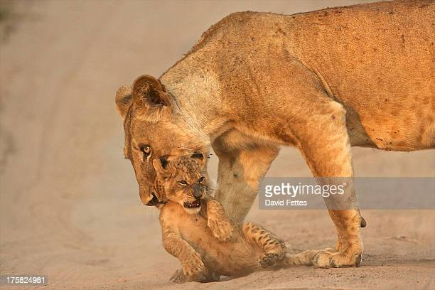 lioness carrying cub, mana pools national park,  zimbabwe, africa - big cat stock pictures, royalty-free photos & images