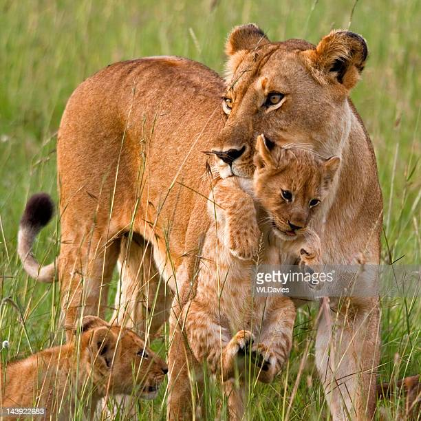 lioness carrying cub - animal family stock pictures, royalty-free photos & images
