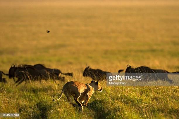 lioness charging at wildebeest