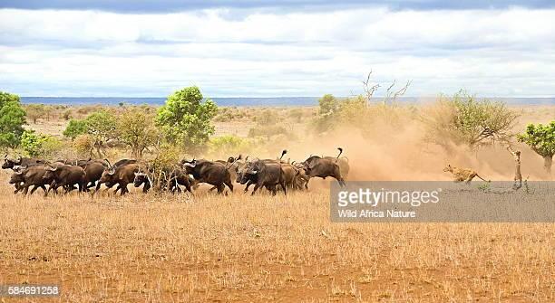 lioness chase - leones cazando fotografías e imágenes de stock