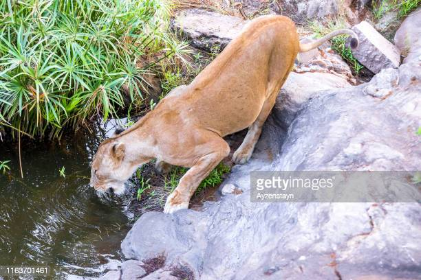 lioness drinking water at wild on rocks - under tongue stock pictures, royalty-free photos & images