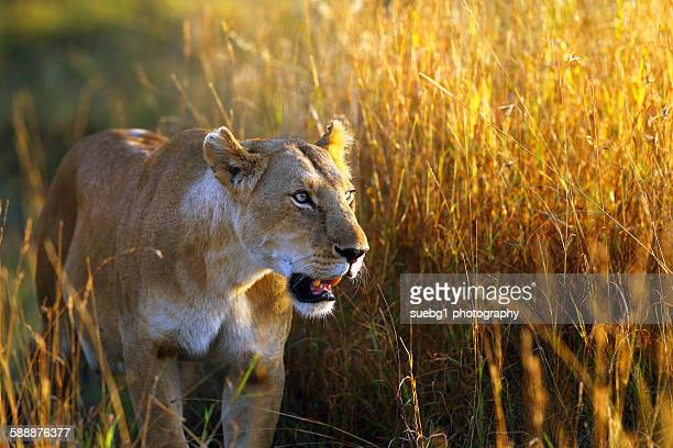 Lioness early morning patrol