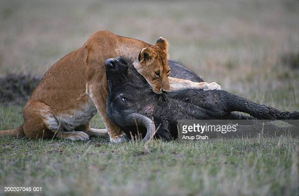 lioness (panthera leo) eating wildebeest - leones cazando fotografías e imágenes de stock