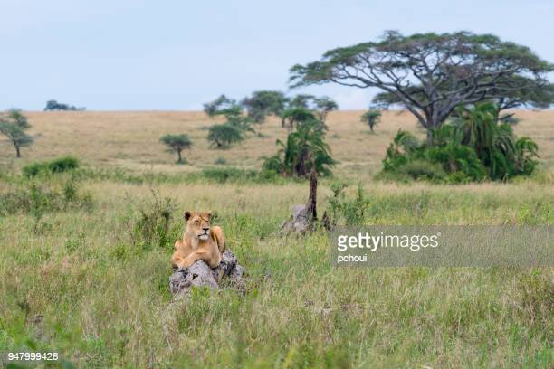 Lioness, female animal, Africa