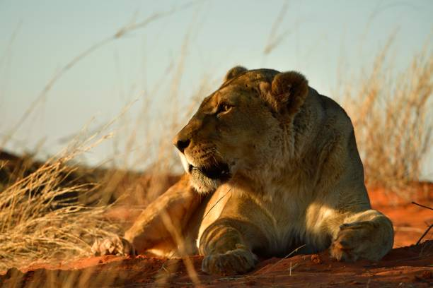 Lioness (Panthera leo), Female resting on a grassy Kalahari dune in the evening light, Kalahari, Namibia