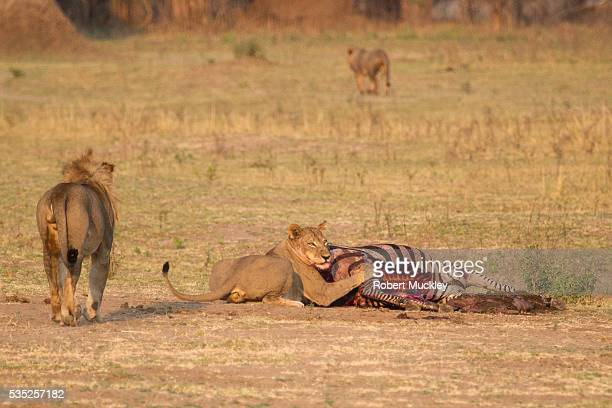 Lioness Guarding her Kill