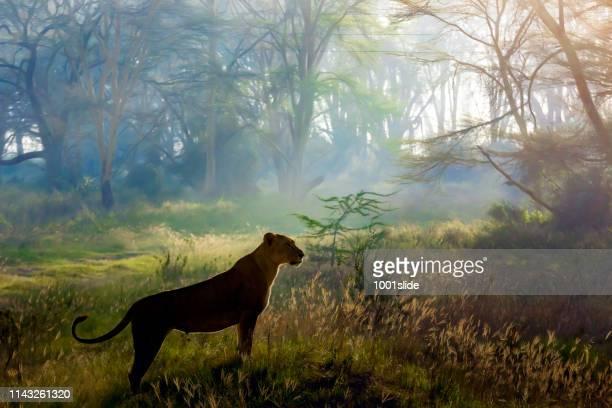 lioness hunting en el parque nacional nakuru, temprano en la mañana - leones cazando fotografías e imágenes de stock