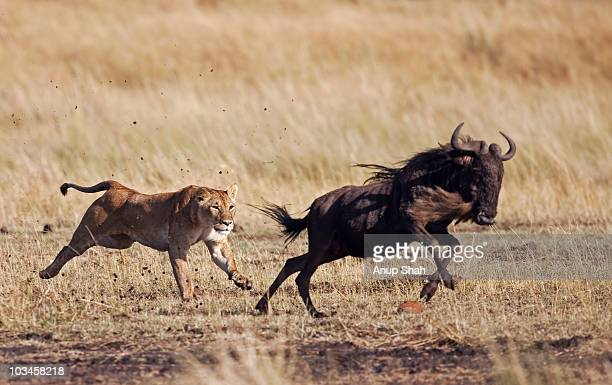lioness hunting eastern white-bearded wildebeest  - lioness stock pictures, royalty-free photos & images