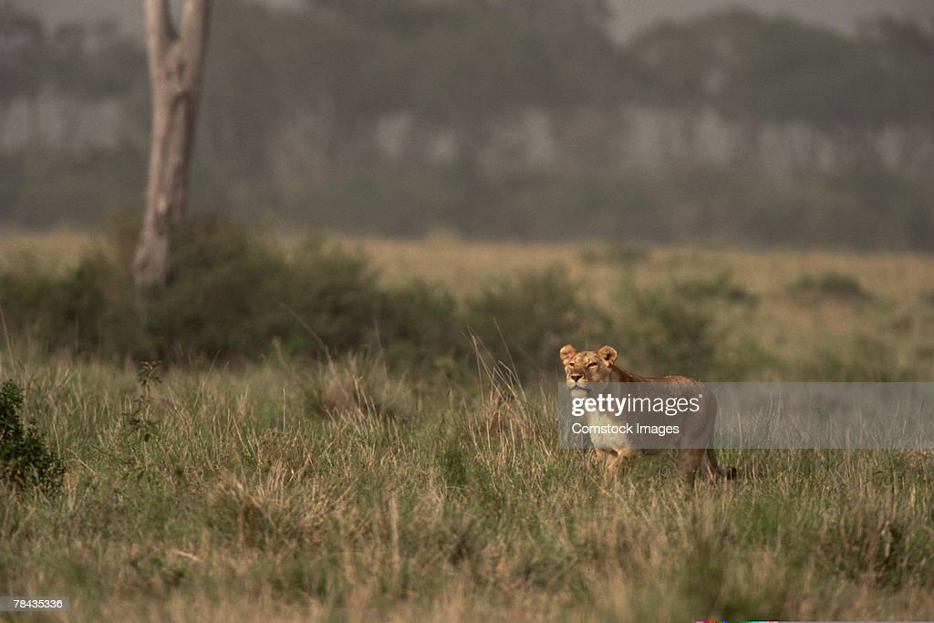 Lioness hunting in grasslands , Kenya , Africa : Stockfoto