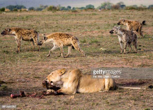 lioness hunting on field with hyena in background - hyena stock pictures, royalty-free photos & images