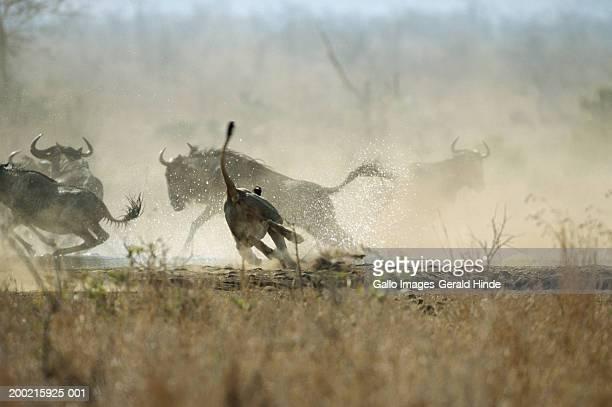 lioness (panthera leo) hunting wildebeest in field - tiere bei der jagd stock-fotos und bilder